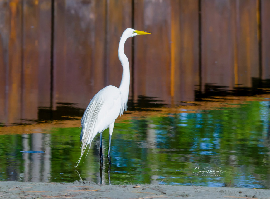 Great Egret on Assateague Island