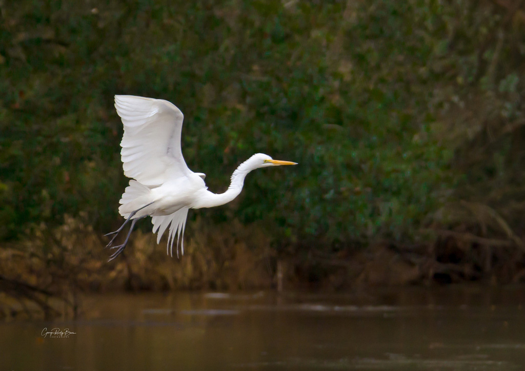 Great Egret signed