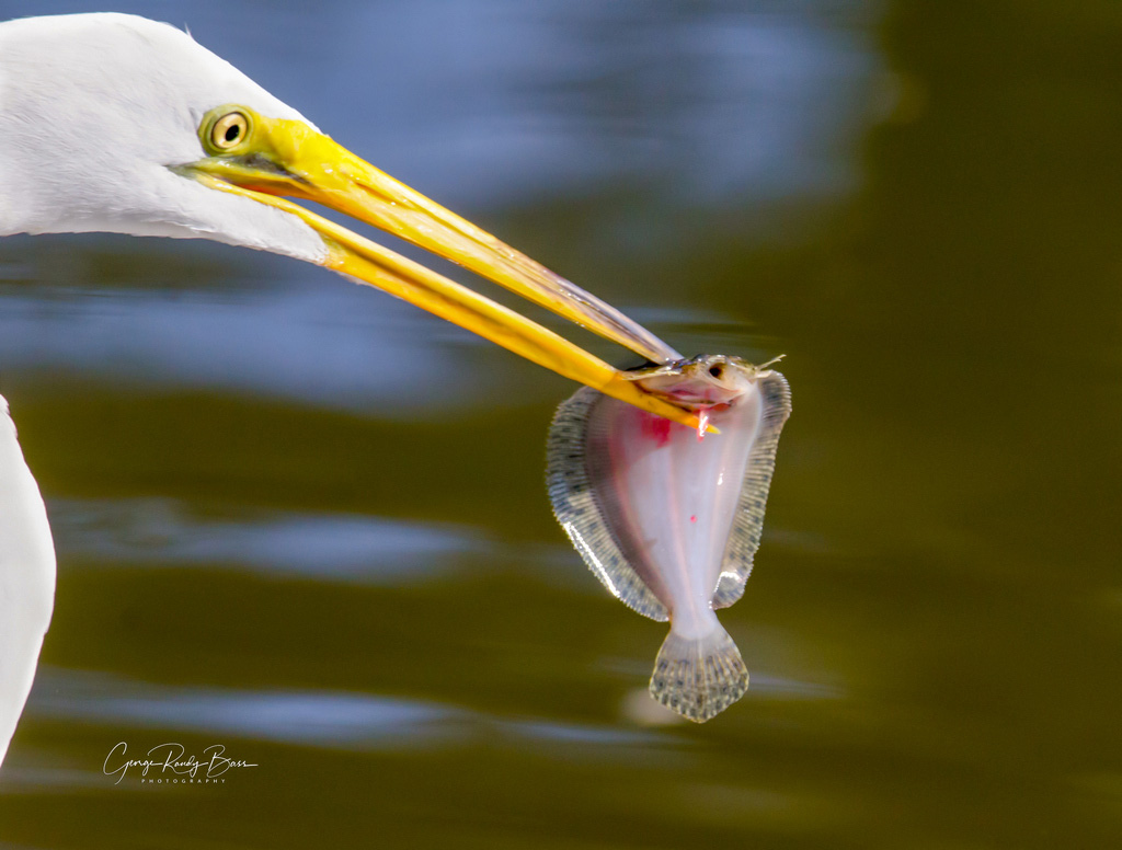 Great White Egret Catch of the Day