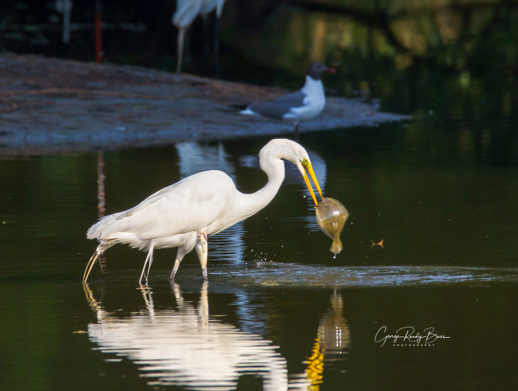 Great White Egret - Flounder That Got Away (3)