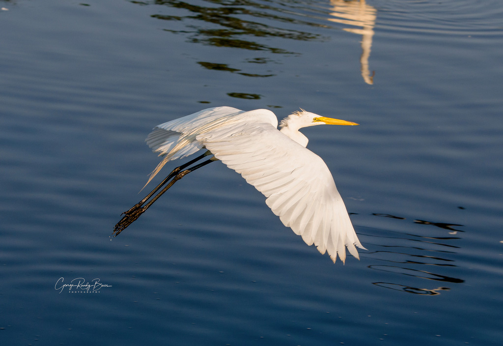 Great White Egret Under Blue Skies (2)