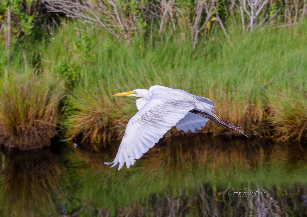 Great White Egret in Flight (3)