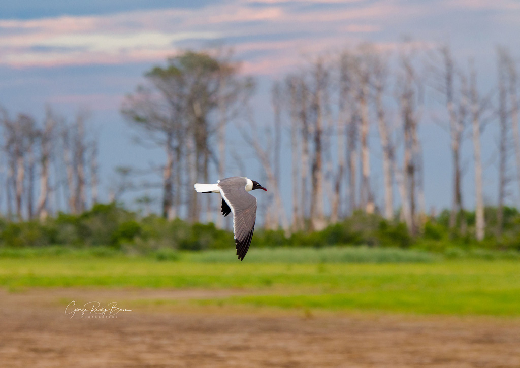 Gull in Flight (3)