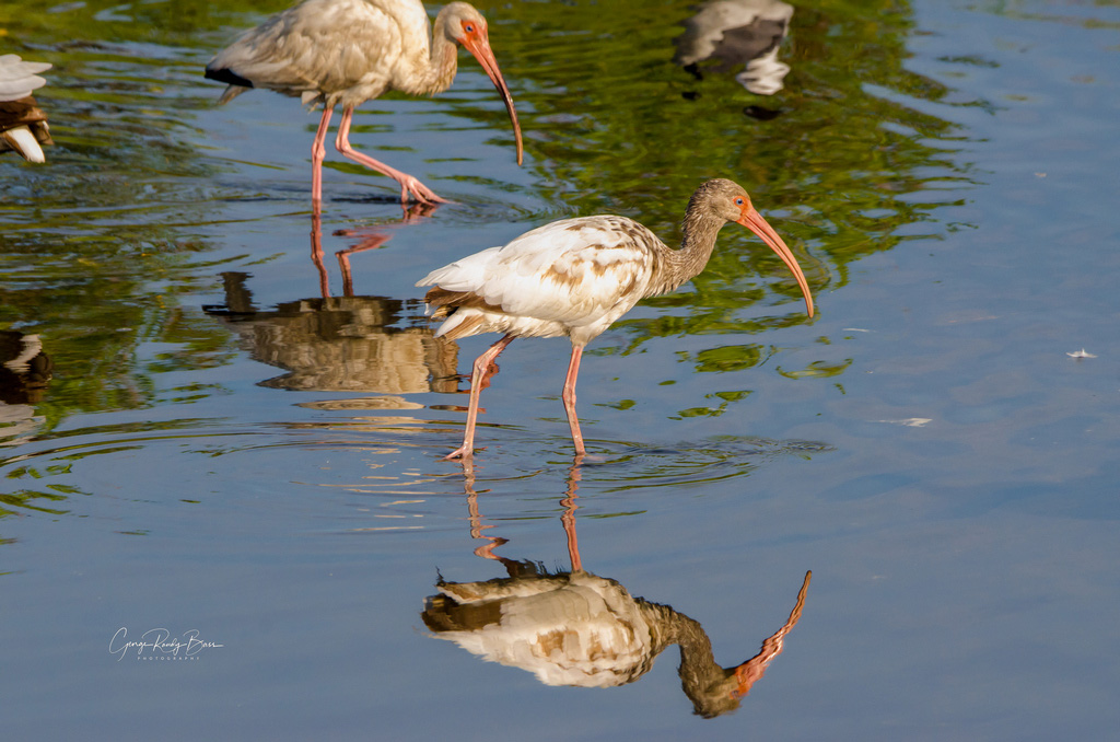 White Ibis Reflection