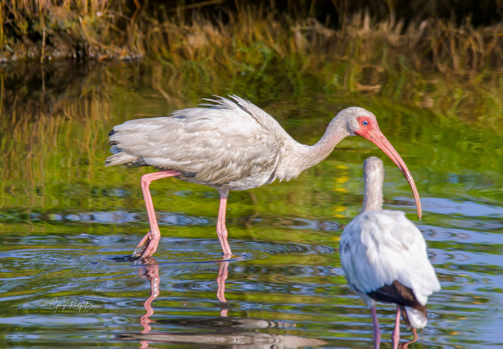 White Ibis With Eye on You_